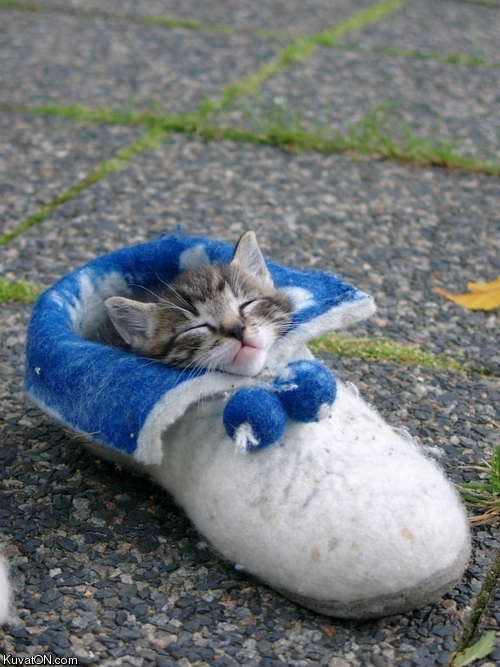 cat_in_shoe.jpg