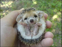 sleepy baby hedgehog